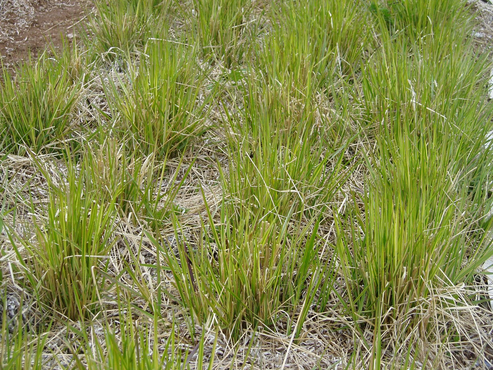 Lovegrass farm calamagrostis x acutiflora 39 overdam 39 at for Tall ornamental grasses for screening