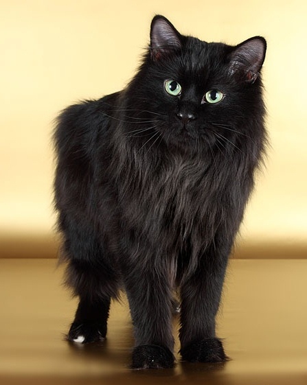Top 5 Most Rare Cat Breeds Of Our Planet