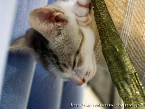 ハンモックで眠る仔猫