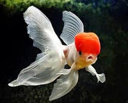 Ikan koi terpopuler koi oranda ragam dunia hewan for Koi 1 utama