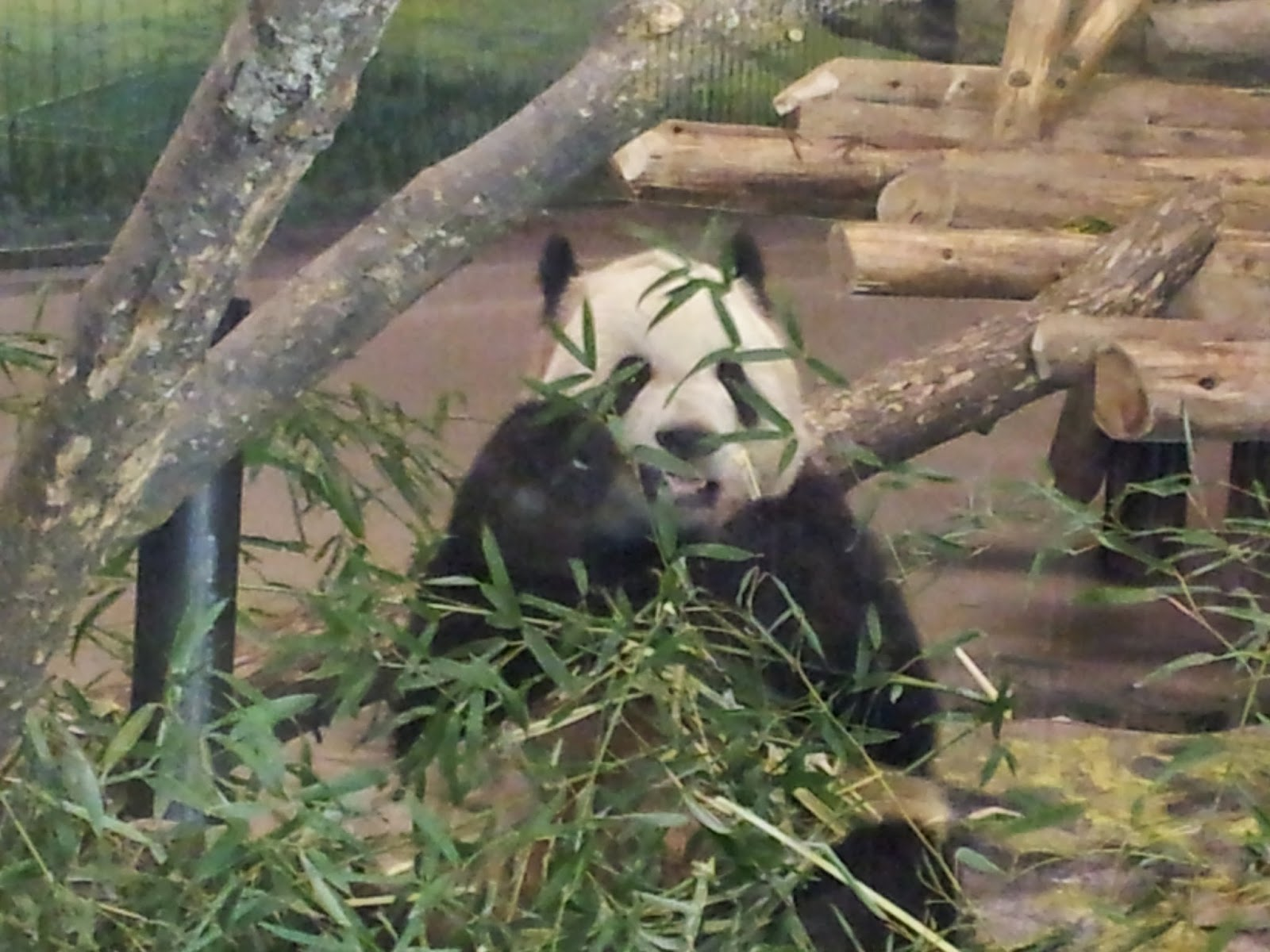 Panda, zoo, Toronto Zoo, animals, animal photography