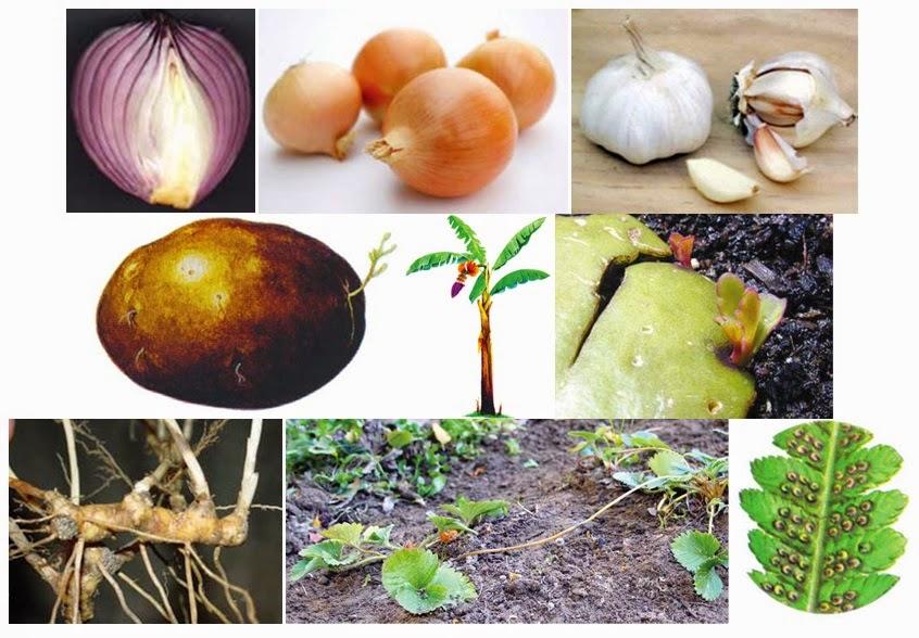 Apa Saja Contoh Tumbuhan Yang Berkembangbiak Secara Vegetatif Alami