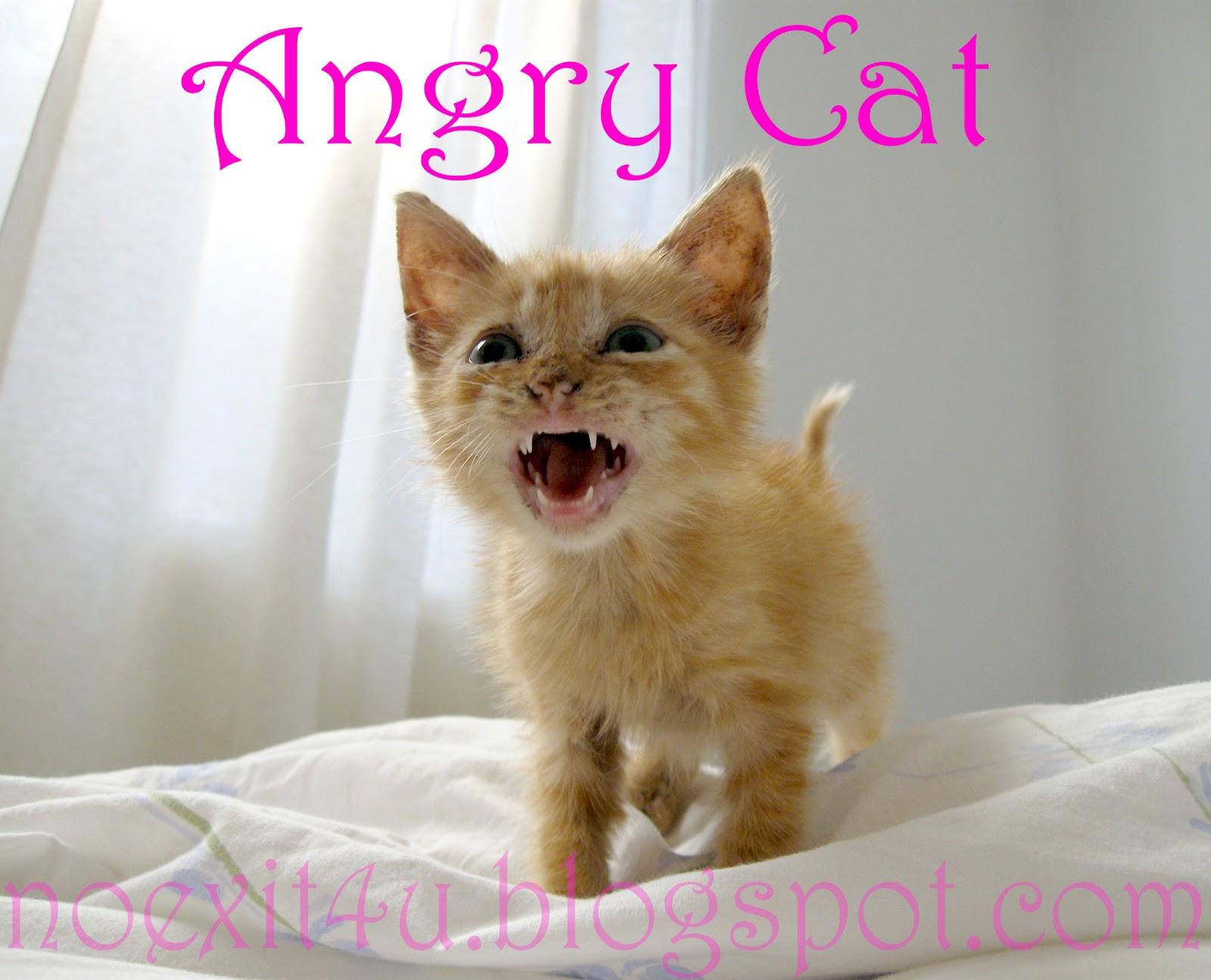 HD ANGRY CAT WALLPAPER ~ noexit4u.com