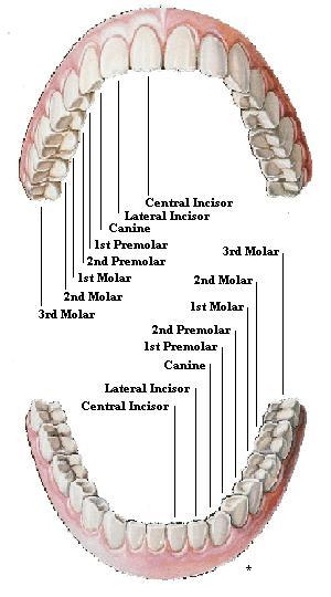 Teeth Diagram  December 2011