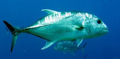 tips jitu teknik memancing, harga umpan mancing di laut,di laut paling bagus, di laut yang jitu, ikan laut pinggiran,dangkal,laut malam hari, 2015,