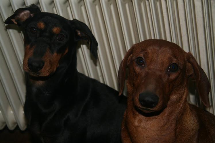 Aya en Bonnie onze gefokte duitse pinschers.