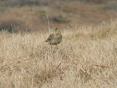 A skylark that I caught on camera last year on Pen-y-Ghent