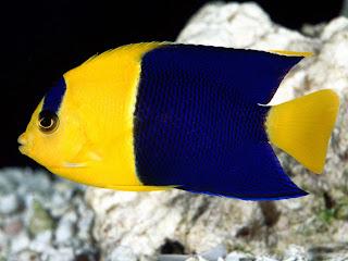 bicolor angelfish (19)