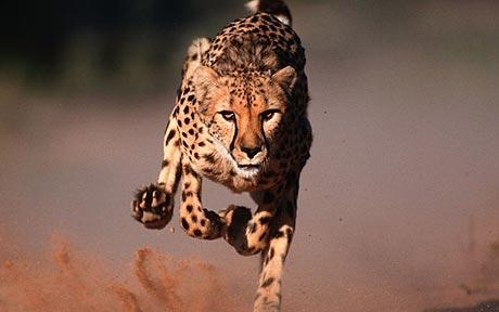 Animal that runs the fastest Cheetah