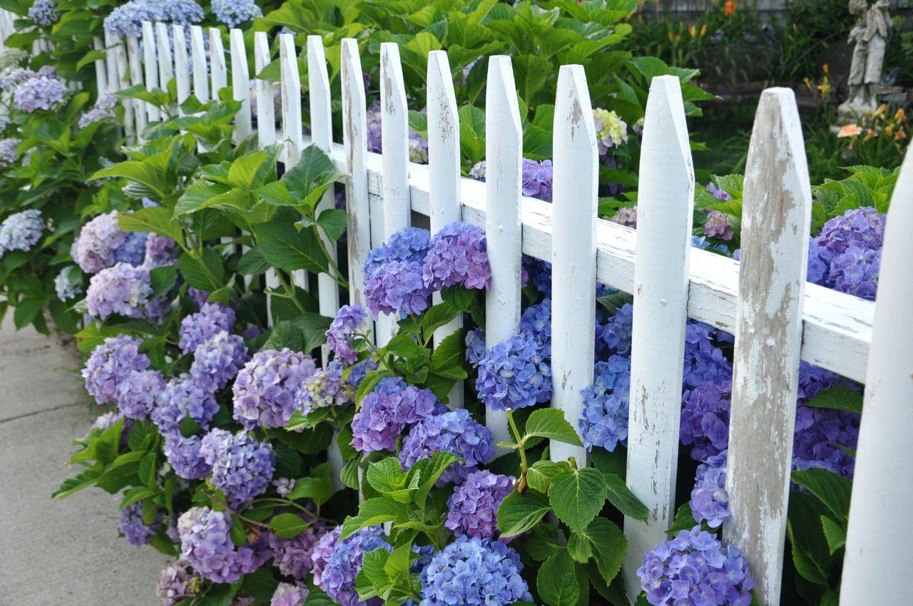 http://2.bp.blogspot.com/-z6lIFT5ZDSY/Ti4Pmxg6F4I/AAAAAAAADwo/zEXVkPZye7U/s1600/hydrangea+picket+fence.jpg