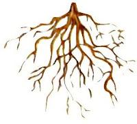 Sistem akar serabut monokotil