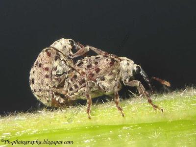 Figwort Weevil