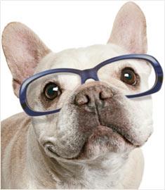 buldogue frances de oculos