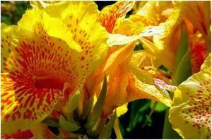 bunga canna