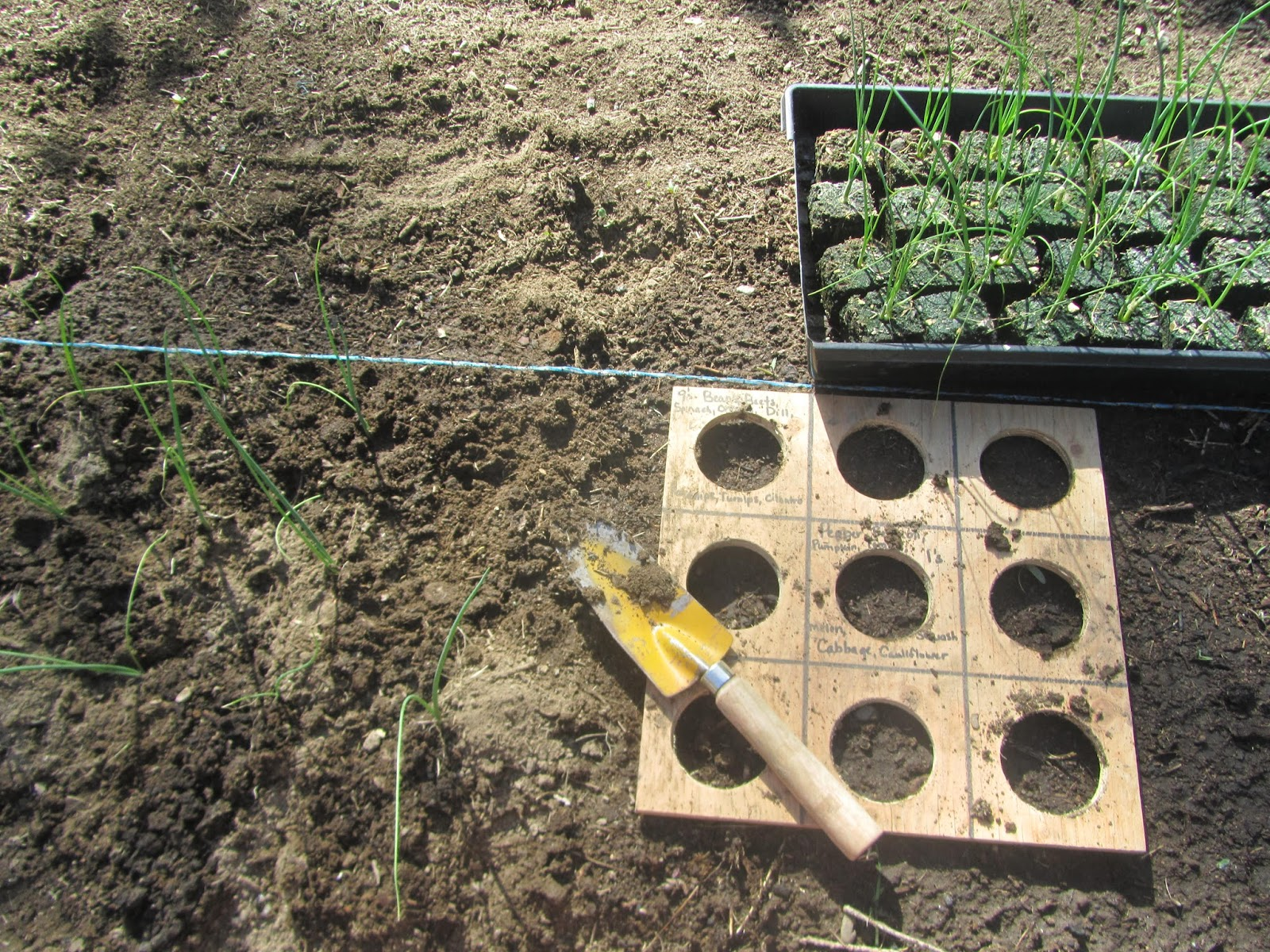 Planting Ailsa Craig onion starts with a square foot gardening board