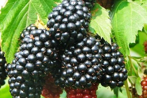 amicomario il rovo arbusto spinoso ma che produce frutti