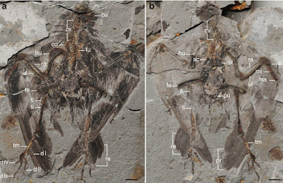Archaeornithura skeleton