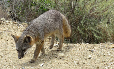the catalina island fox