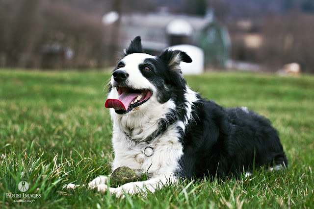 australian_shepherd_dog_with_ball_pet_portrait_photographer_wheaton_il this beautiful life sarah parisi