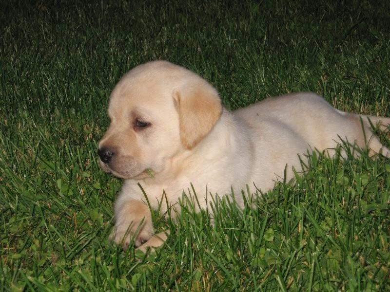 Nicki's pups 5 weeks old