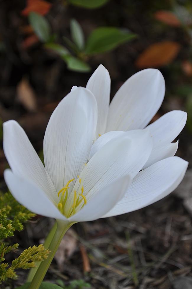 Colchicum Speciosus 'alba'