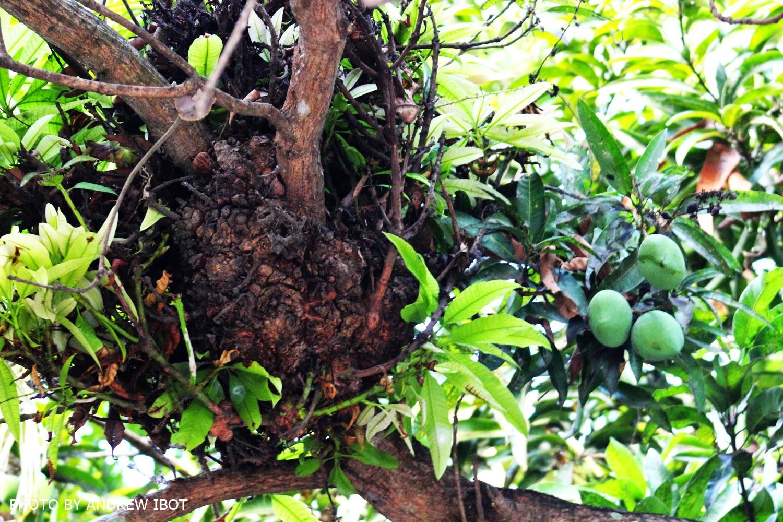 mango mangifera indica leaves extract and Were prepared using leaf extracts of mango (mangifera indica) and star apple  preparation of leaf extract mango and star apple leaves were washed with tap.