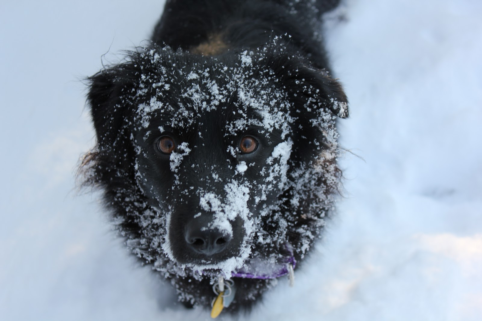 A confident Lilah in the snow, taking a break from running and playing and general winter doggy mayhem.
