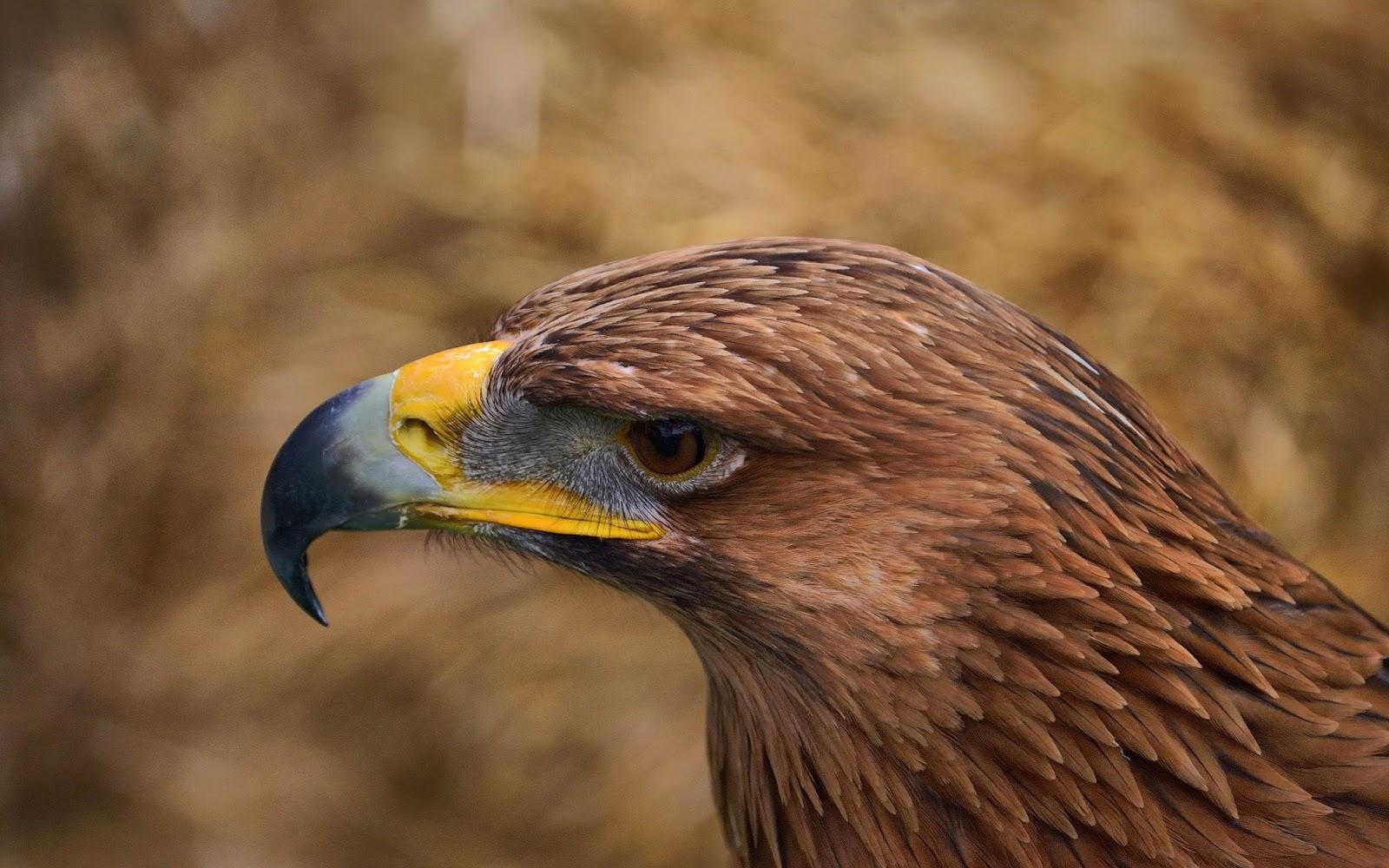 Fondo de Pantalla Animales Aguila de color marron | Fondo Pantalla ...