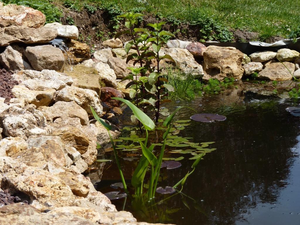 Le jardin de triton pi ce d 39 eau au jardin 3 3 for Caoutchouc plante exterieur