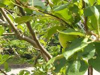 この4月初めては開花、10個の実がなってラストの1個の青リンゴが実っていた。