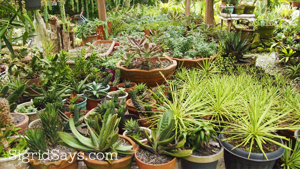 Bacolod biz hazelyn guerrero cactus plants and tips on - What is cactus plant good for ...