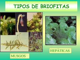 Flora de Puerto Rico Ilustrada BRIOFITAS clases DE Puerto Rico 2