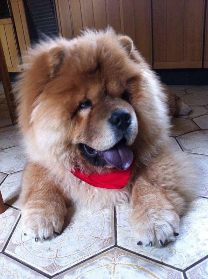 Cute brown chow chow puppy