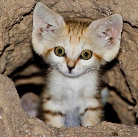 [Image: Arabian+Sand+Cat.jpg]