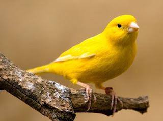 Burung Kenari Kicau