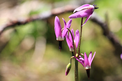 Dodecatheon jeffreyi (Jeffrey's shooting star)