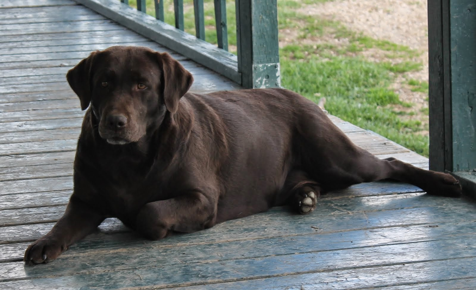 BUCKMOUNTAIN'S MISS JERSEY GIRL (NOW RETIRED AND LIVING WITH HER LAB BROTHER RIPLEY)