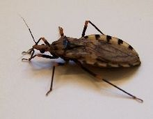 Triatomine Bugs, kissing bug, kissing bugs, Chagas