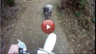 Mountain biker vs mountain sheep