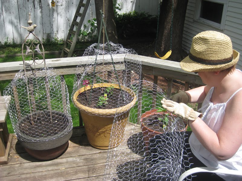 homemade ginger peachy making cloches