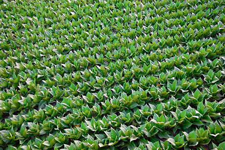 Fumagem deixada de uma fleuma verde