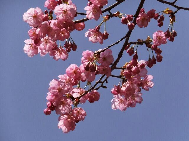 陽光桜も春の光を浴びて咲いていた。