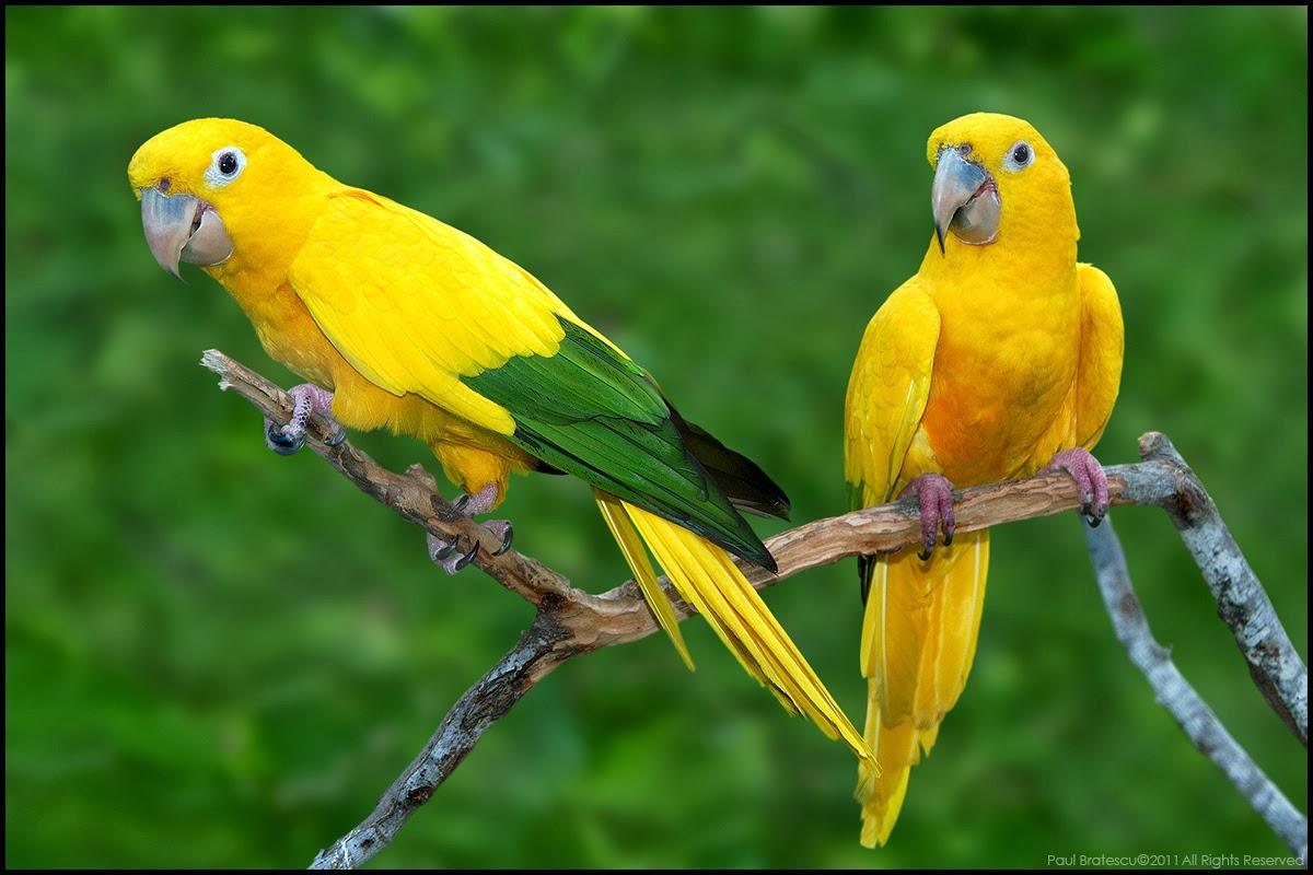 Golden Conure Parakeets