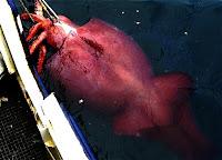 Calamar Gigante Rojo