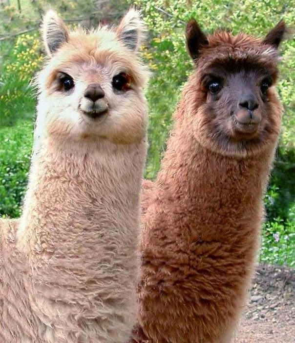 Llamas With Afros The politics of US patent law