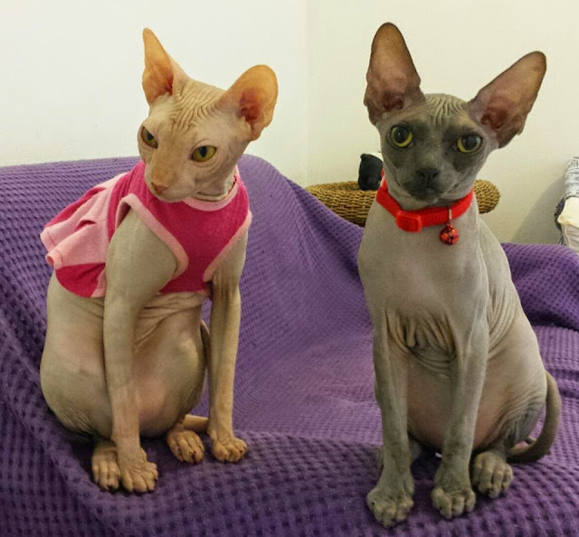 Gatos sphynx, Franga e Boo Boo, vestindo roupa para gatos