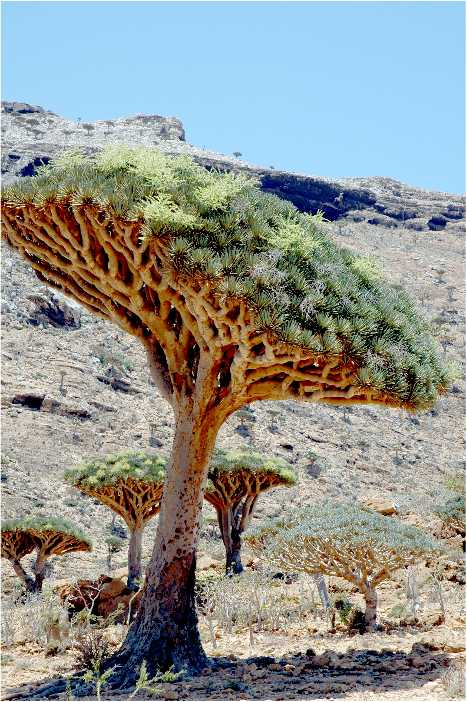 Copac din Socotra