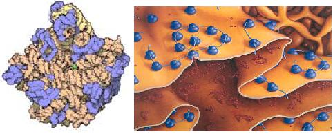 El reticulo endoplasmatico los ribosomas y la sintesis de proteinas