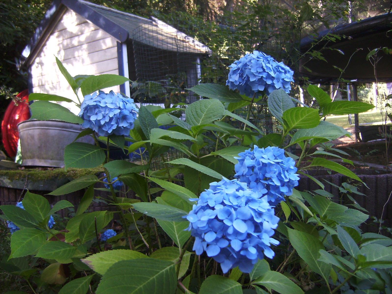 goethe 39 s gonna getya blue hydrangea blaue hortensie by. Black Bedroom Furniture Sets. Home Design Ideas