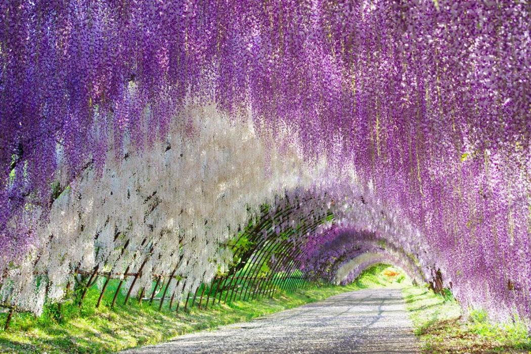 河内藤園 藤のトンネル